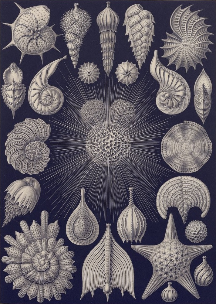 Ernst Haeckel, aestheticized drawings of various sea shells from Kunstformen der Natur