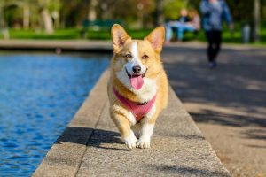 a corgi running toward the camera